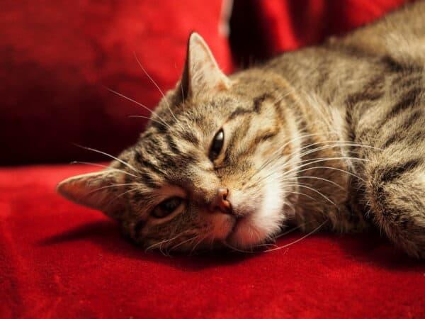 Katze Mausi